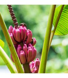 Banánovník Velutina - semena - 5 ks - Musa Velutina