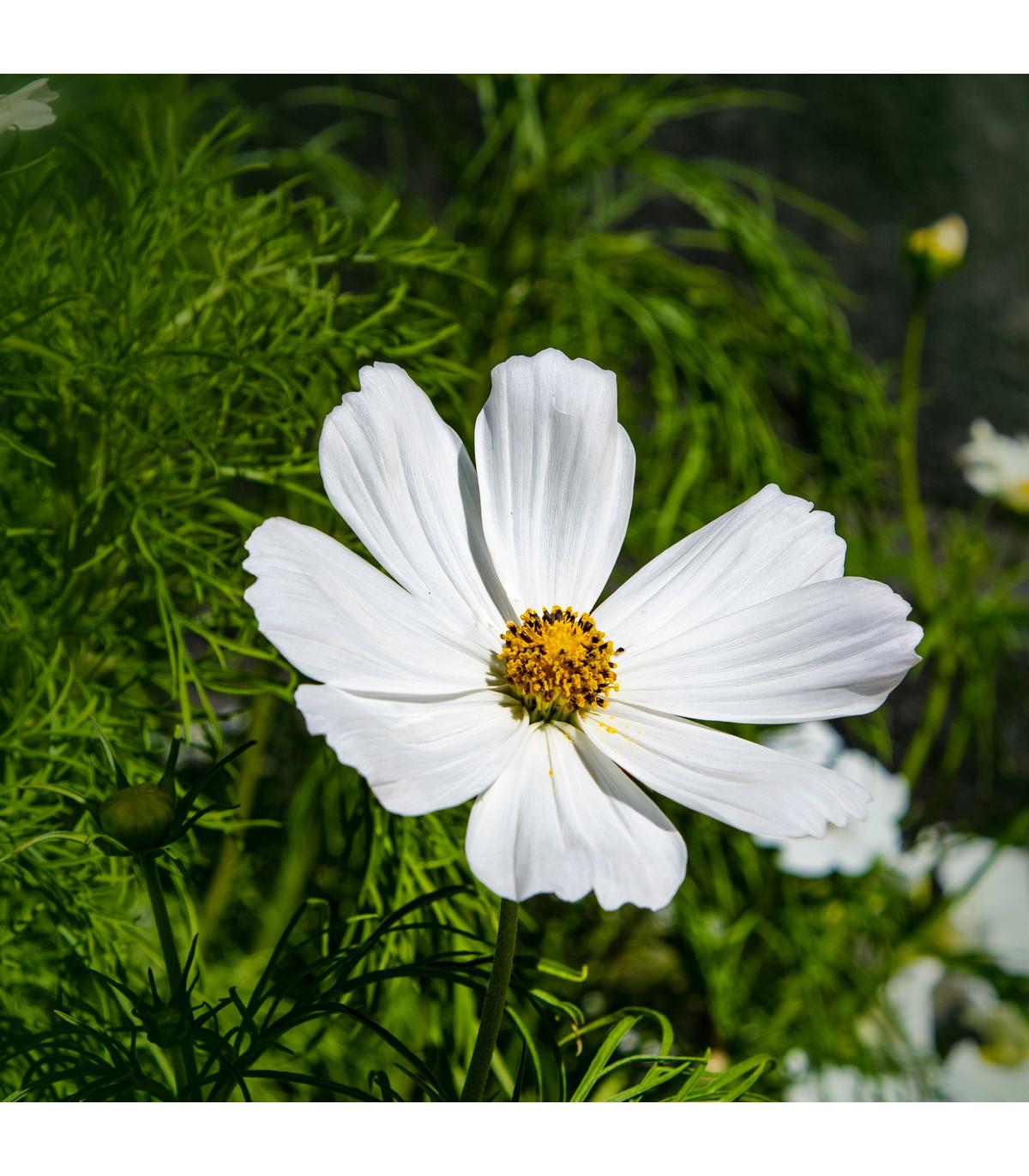 Krásenka zpeřená Bílá senzace - semena Krásenky - Cosmos bipinnatus - 40 ks