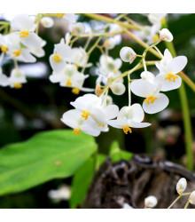 Bublinatka - semena - 15 ks - Utricularia alpina
