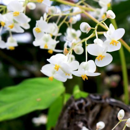 Bublinatka - Utricularia alpina - semená - 15 ks