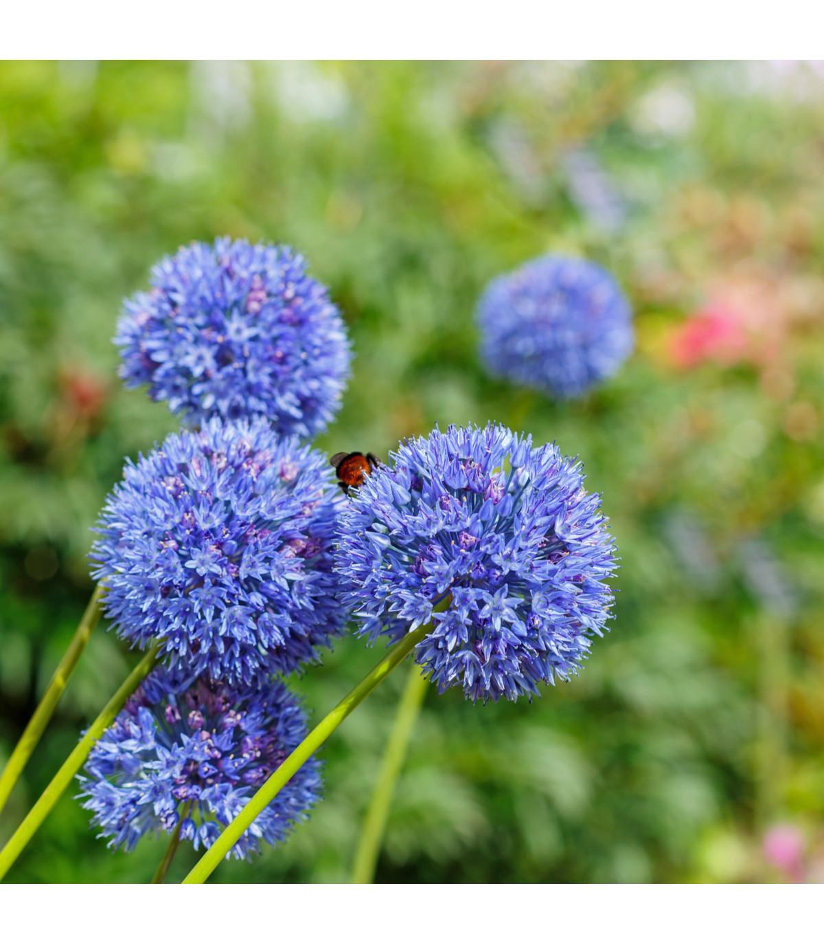 Cesnak azúrový - Allium caeruleum - holandské cibuľoviny - 3 ks