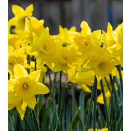 Narcis Dutch master - Narcissus - cibuľoviny - 3 ks