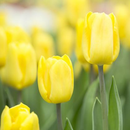 Tulipán Candela - cibule tulipánů - cibulky - 3 ks