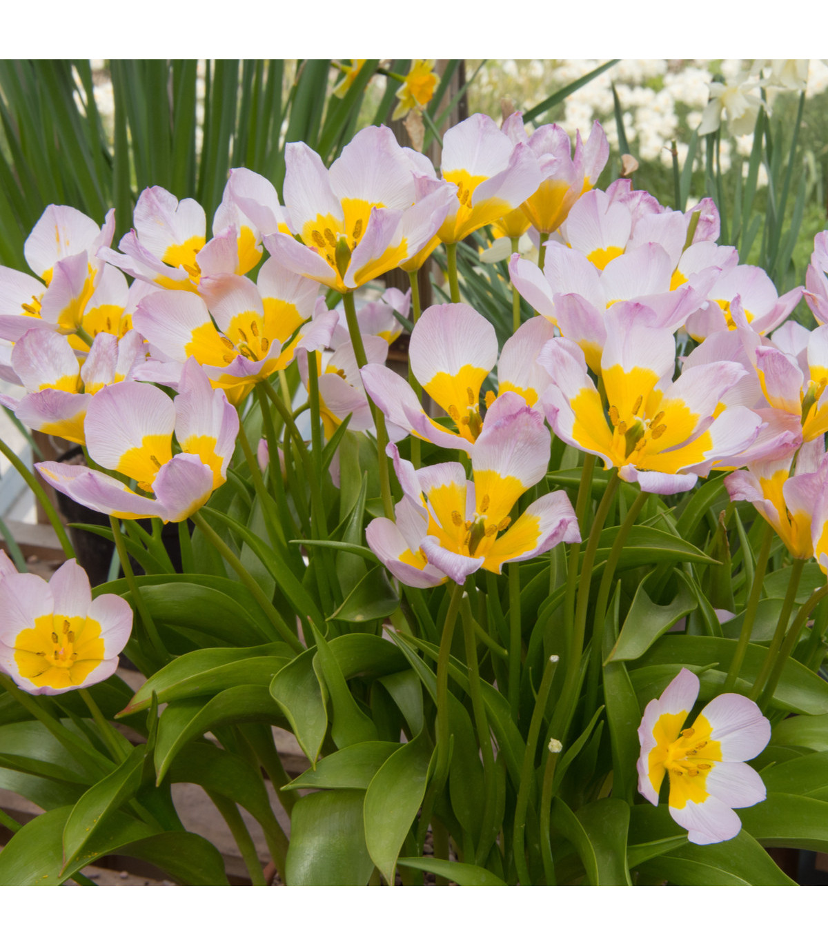 Tulipán Saxatilis - Bakerii Lilac Wonder - Tulipa - cibuľoviny - 3ks