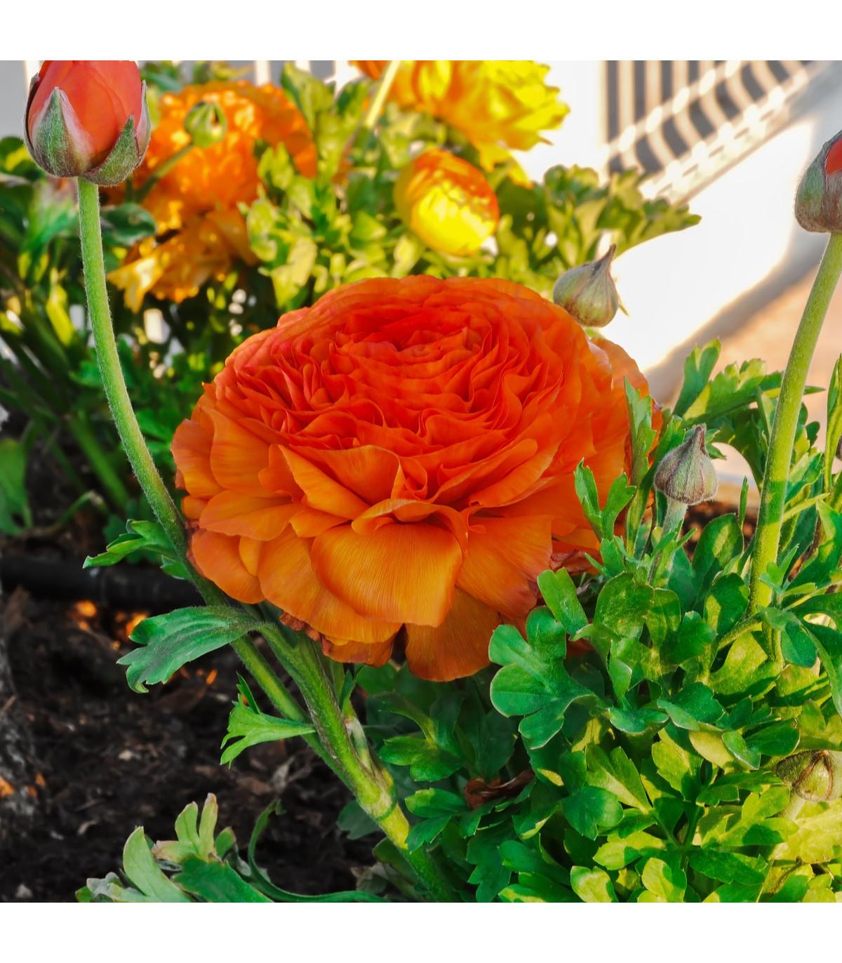 Pryskyřník oranžový - holandské cibuloviny - Ranunculus asiaticus - 3 ks