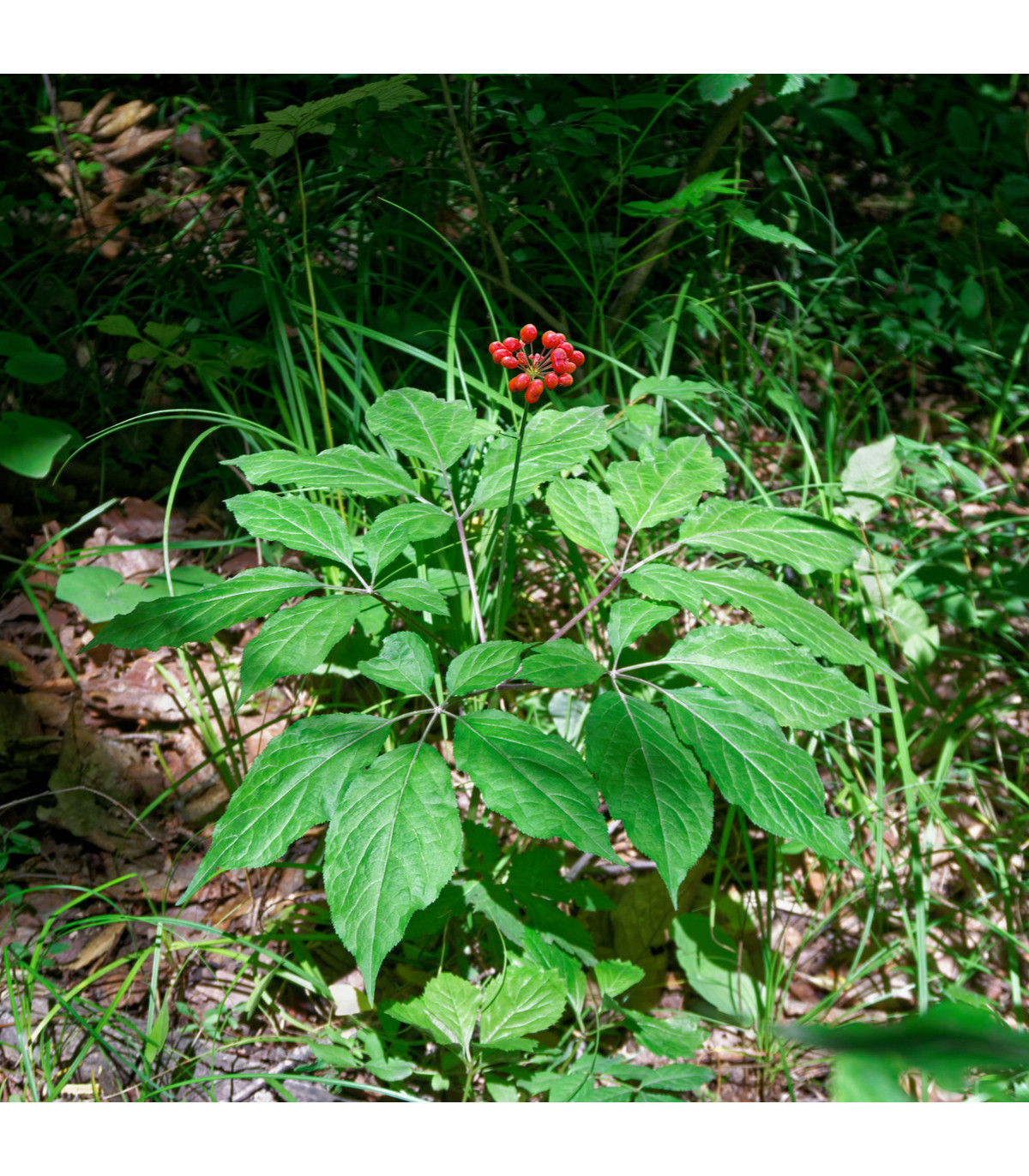 Ženšen pravý - Ginseng - semena Ženšenu - Panax ginseng - 2 ks