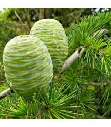 Cedr Himalájský- semena Cedru- 10 ks- Cedrus deodara