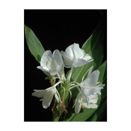 Bílý zázvor - semena Zázvoru - Hedychium coronarium - 4 ks