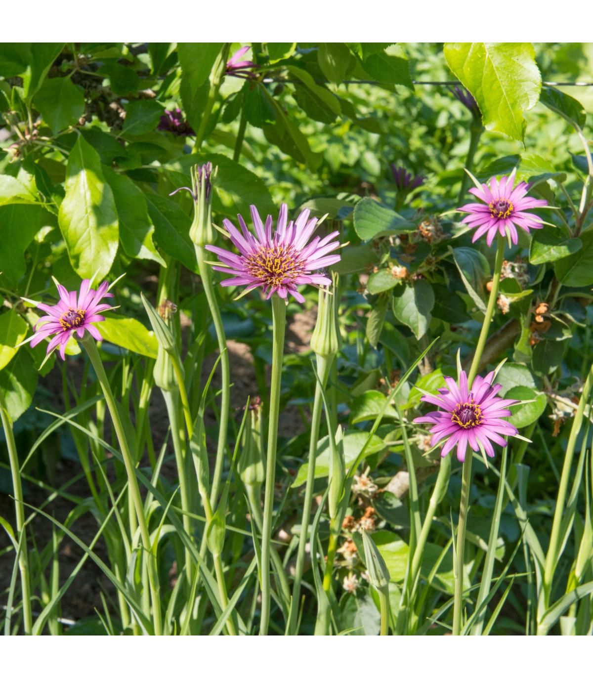 Kozí brada fialová - semena Kozí brady - Tragopogon porrifolius - 1,2 gr
