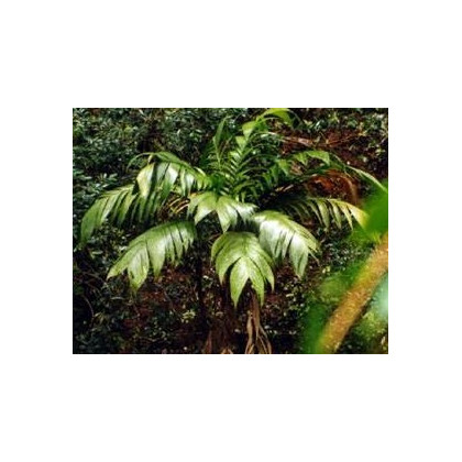 Palma mexická- semena- 5 ks- Geonomma Interrupta