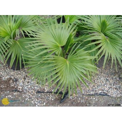 Palma čínská- semena- 3 ks- Livistona Chinensis