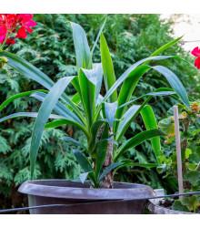 Juka Rupicola- semena- 5 ks- Yucca Rupicola