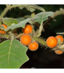Narančila - chlupatý pomeranč - semena - 5 ks - Solanum quitoense