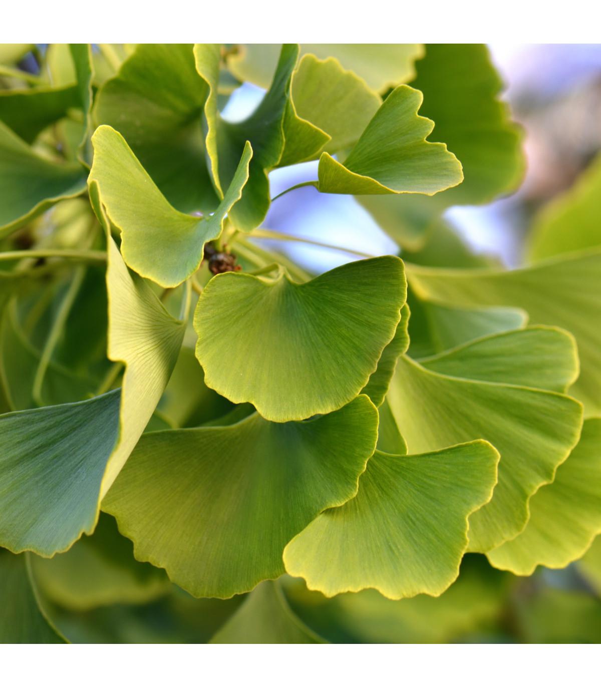 Ginko dvojlaločné - semená Ginka - 2 ks - Ginkgo biloba