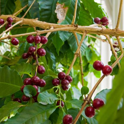 Kávovník arabský - semena Kávovníku - 5 ks - Coffea arabica