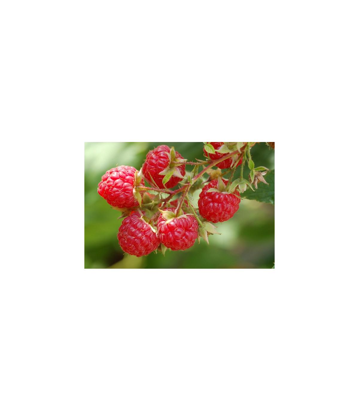 Ostružiník - Maliník - semena Ostružiníku - 5 ks - Rubus Leucodermis