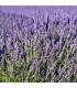 Levanduľa lekárska - Lavandula angustifolia - predaj semien levandule - 130 ks