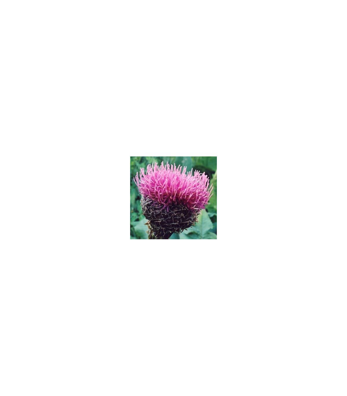 Maralí kořen - semena Leuzei - 60 ks - Leuzea carthamoides