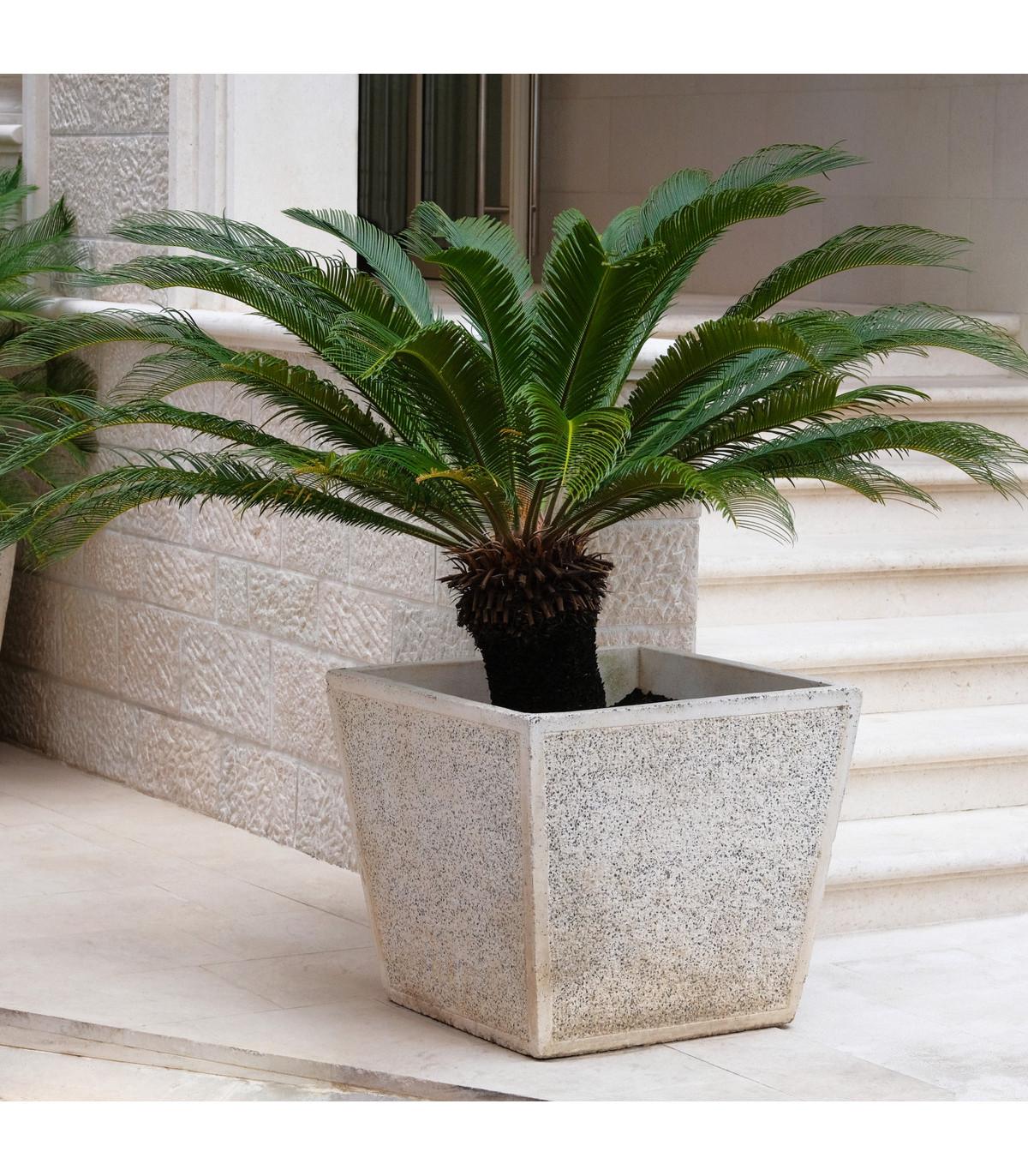 Cykas japonský- zavinutý- semena Cykasu- 2 ks- Cycas revoluta