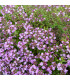 Mateřídouška - semena Mateřídoušky - 400 ks - Thymus serpyllum