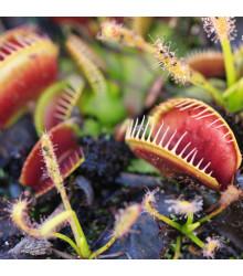 Mucholapka červená Redline - semena Mucholapky - Dionaea - 15 ks