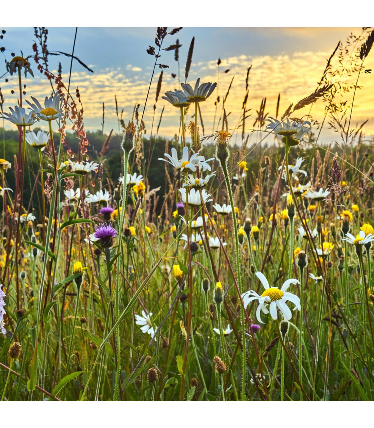 Směs lučních květin a bylin - semena Letniček - 0, 9 g