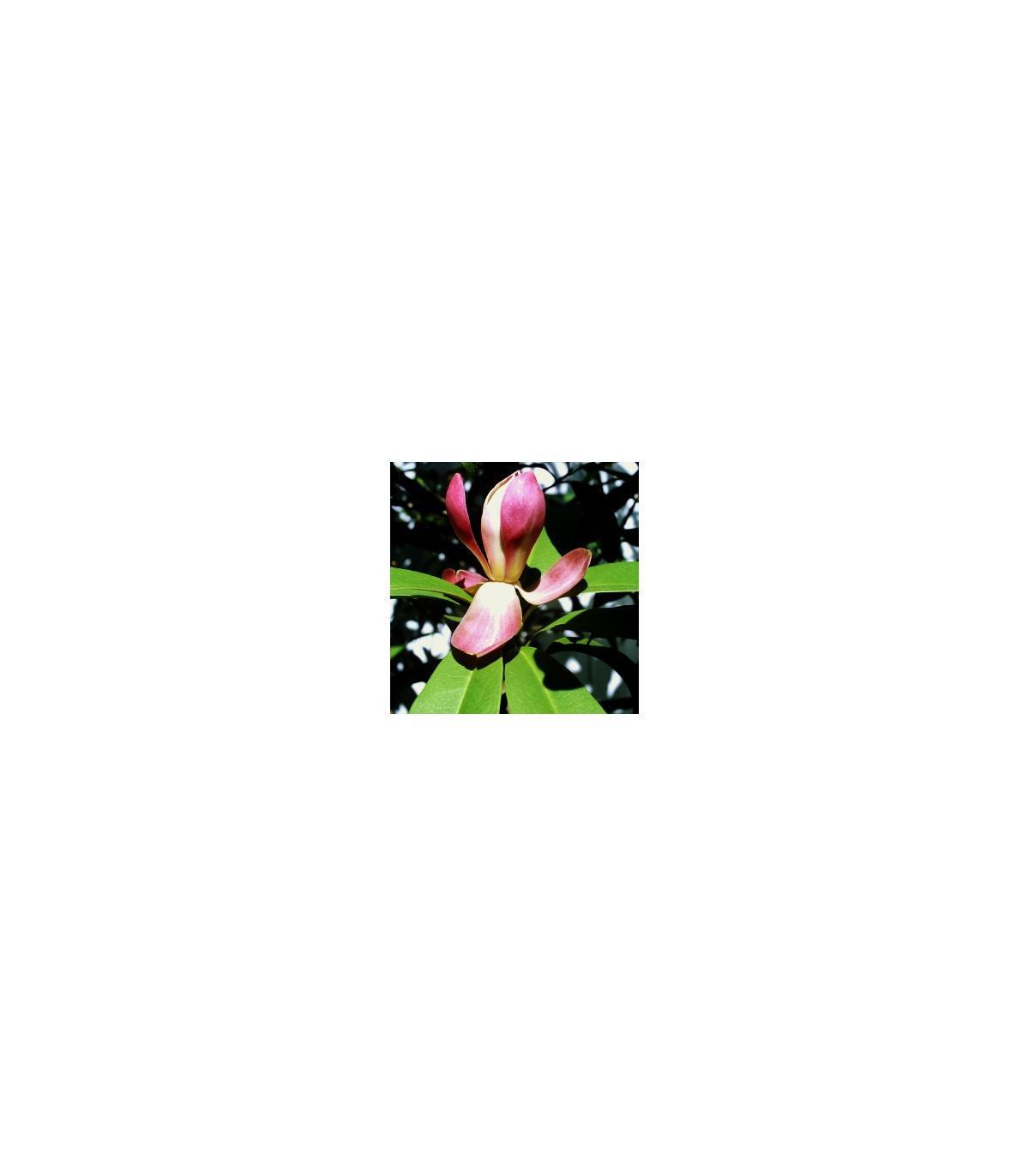 Magnólie insignis - semena magnólie - Maglietia insignis - 5 ks