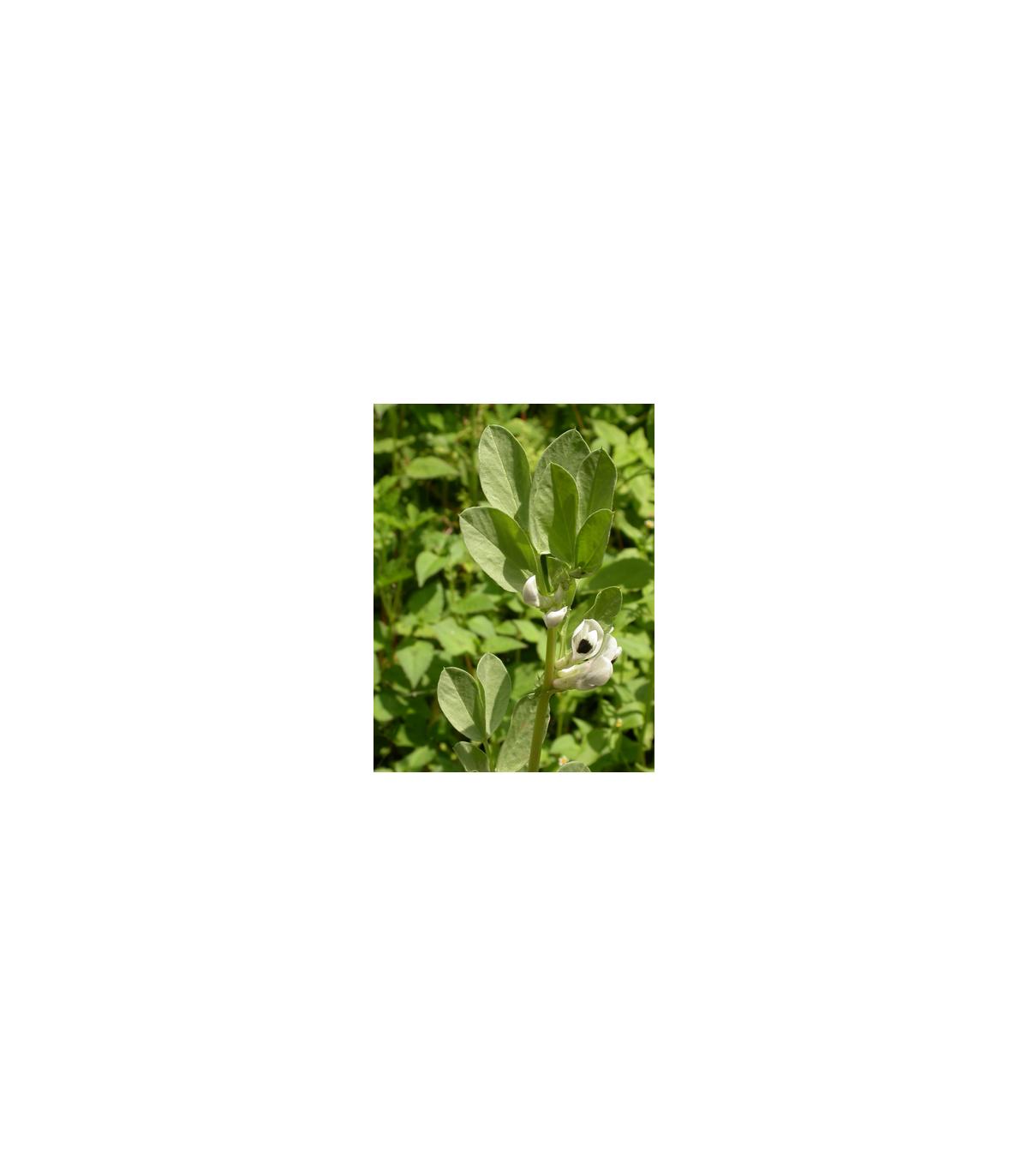 Bob obecný bílý - semena Bobu - Vitia faba - 20 gr