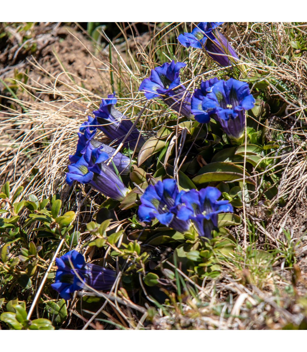 Hořec bezlodyžný - semena Hořce - Gentiana acaulis - 8 ks