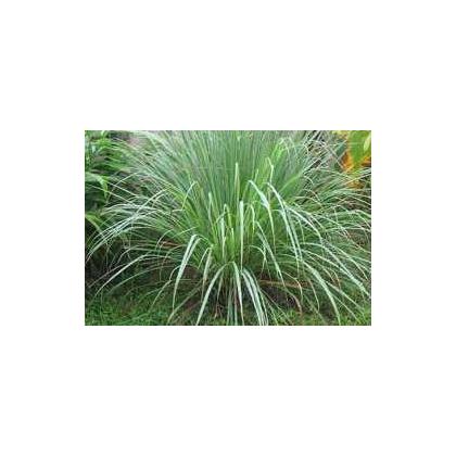 Citrónová tráva pravá - semena trávy - Cymbopogon winterianus - 20 ks