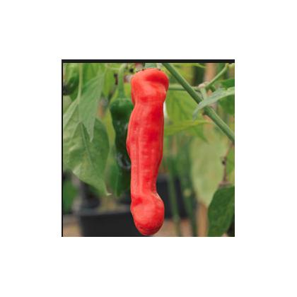 Penisové Chilli Peter - neobvyklý tvar chilli - semena chilli - 5 ks
