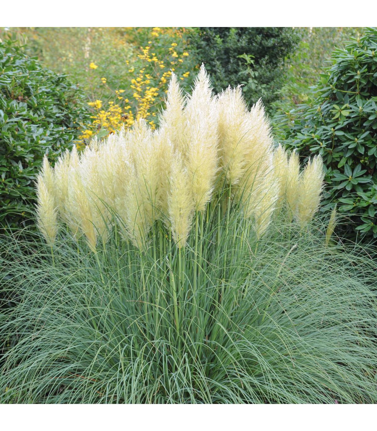 Pampas stříbrný - semena Pampasu - 10 ks - Cortaderia selloana