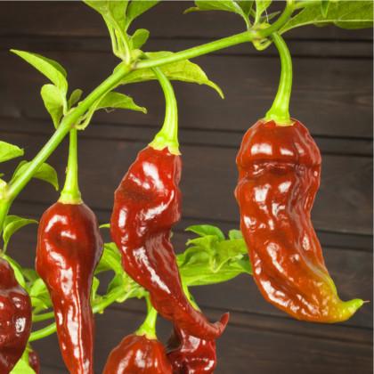 Chilli Bhut Jolokia - čokoládová barva - extra pálivé chilli - 5 ks