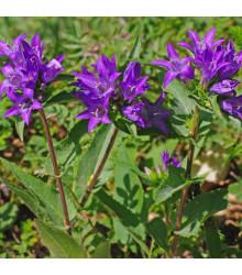 Zvonek klubkatý - semena Zvonku - Campanula glomerata - 0,1 g