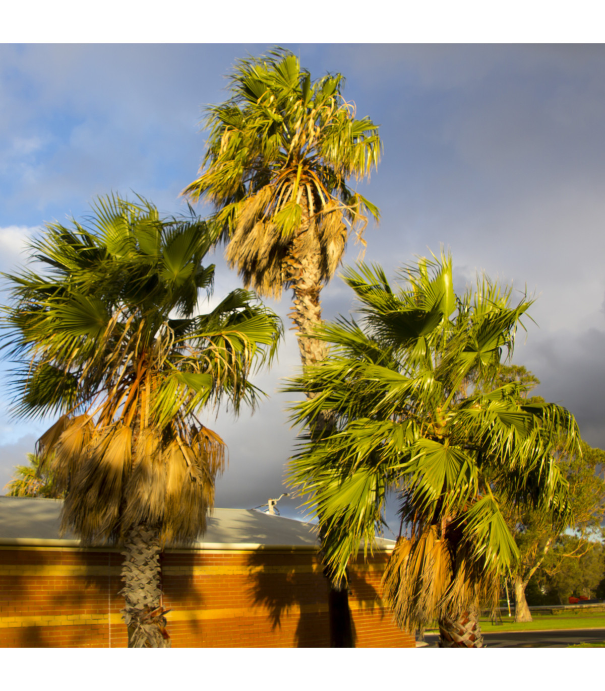 Palma Washingtonie vláknitá - semena mrazuvzdorné palmy - Washingtonia filifera - 3 ks