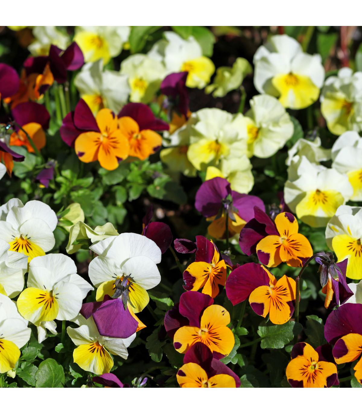 Violka rohatá - semena Violky - Viola cornuta - 70 ks