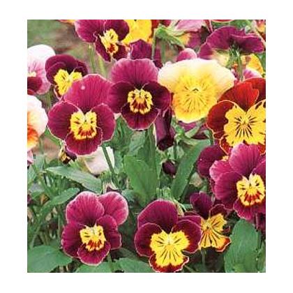 Fialka ostrohatá zmes Bambini - semená - 0,2 gr - Viola cornuta