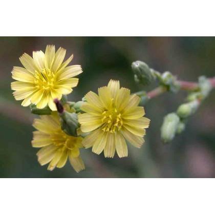 Locika kompasová - semená - 10 ks - Lactuca serriola