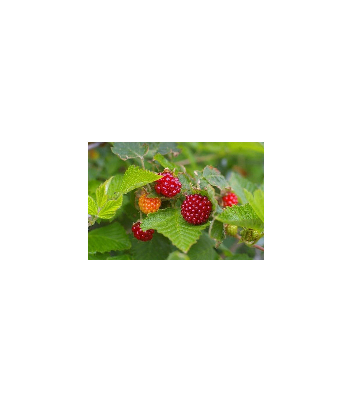 Ostružiník nutkajský - semena Ostružníku - 5 ks - Rubus Parviflorus