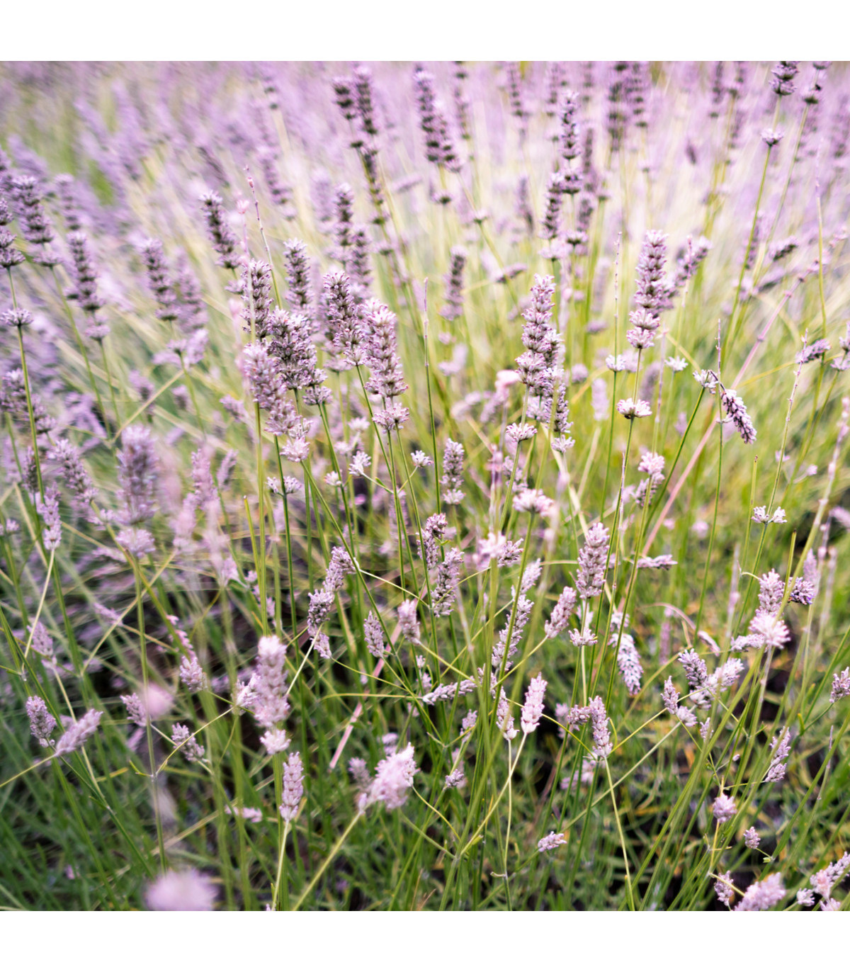 Levanduľa lekárska ružová ŠPECIÁL - semená Levandule - Lavandula angustifolia  - 50 ks
