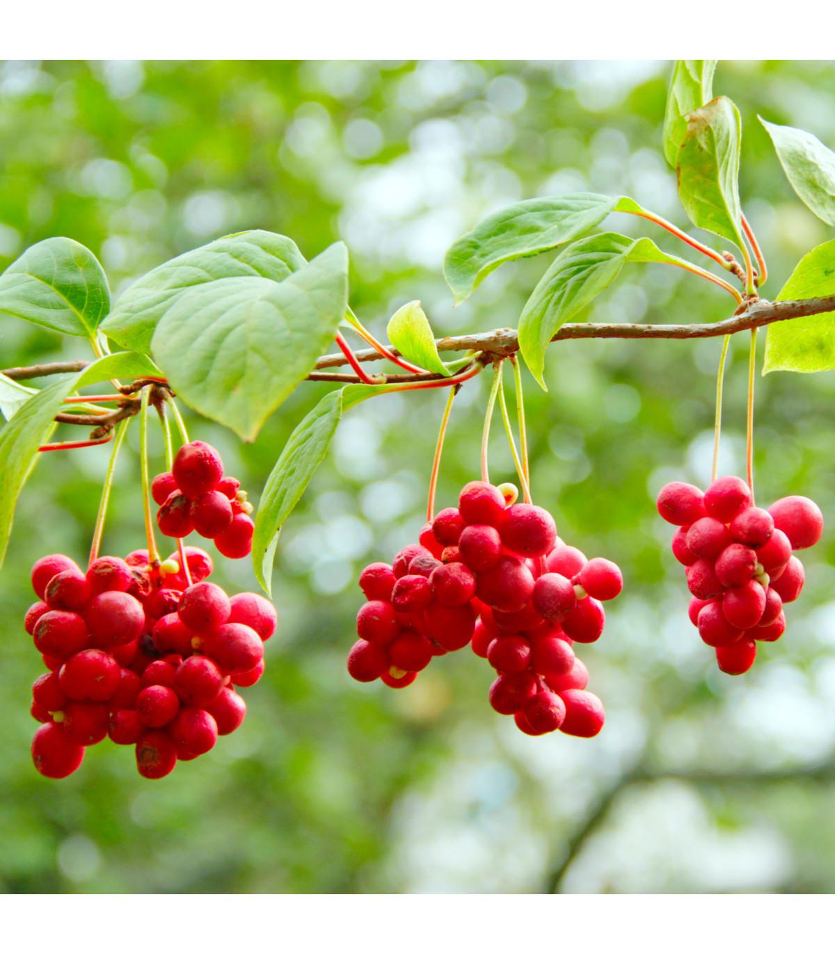 Schizandra čínská - Klanopraška - semena Klanoprašky - 6 ks