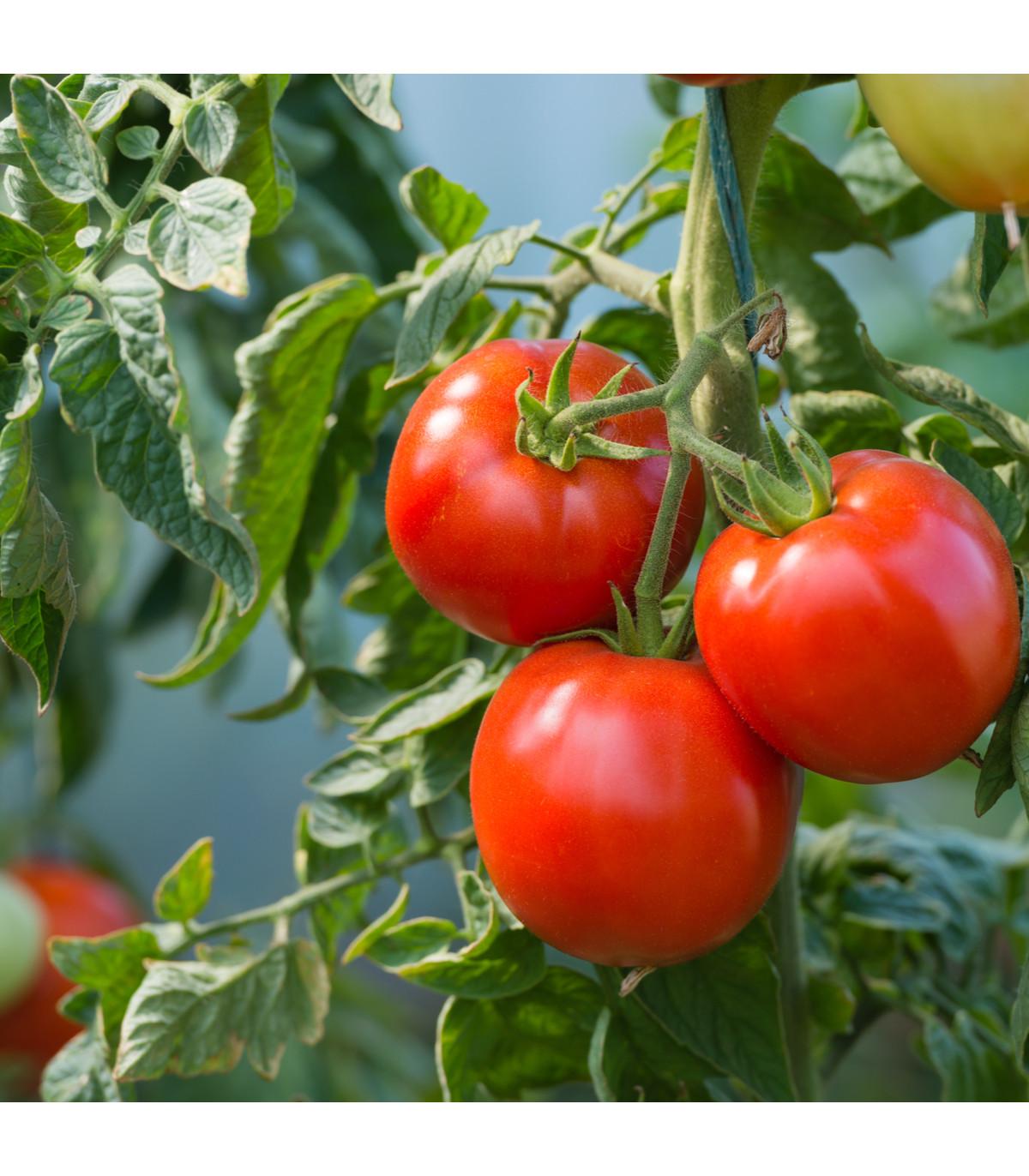 Paradajka kríčková Karkulka - semená paradajky - 20 ks