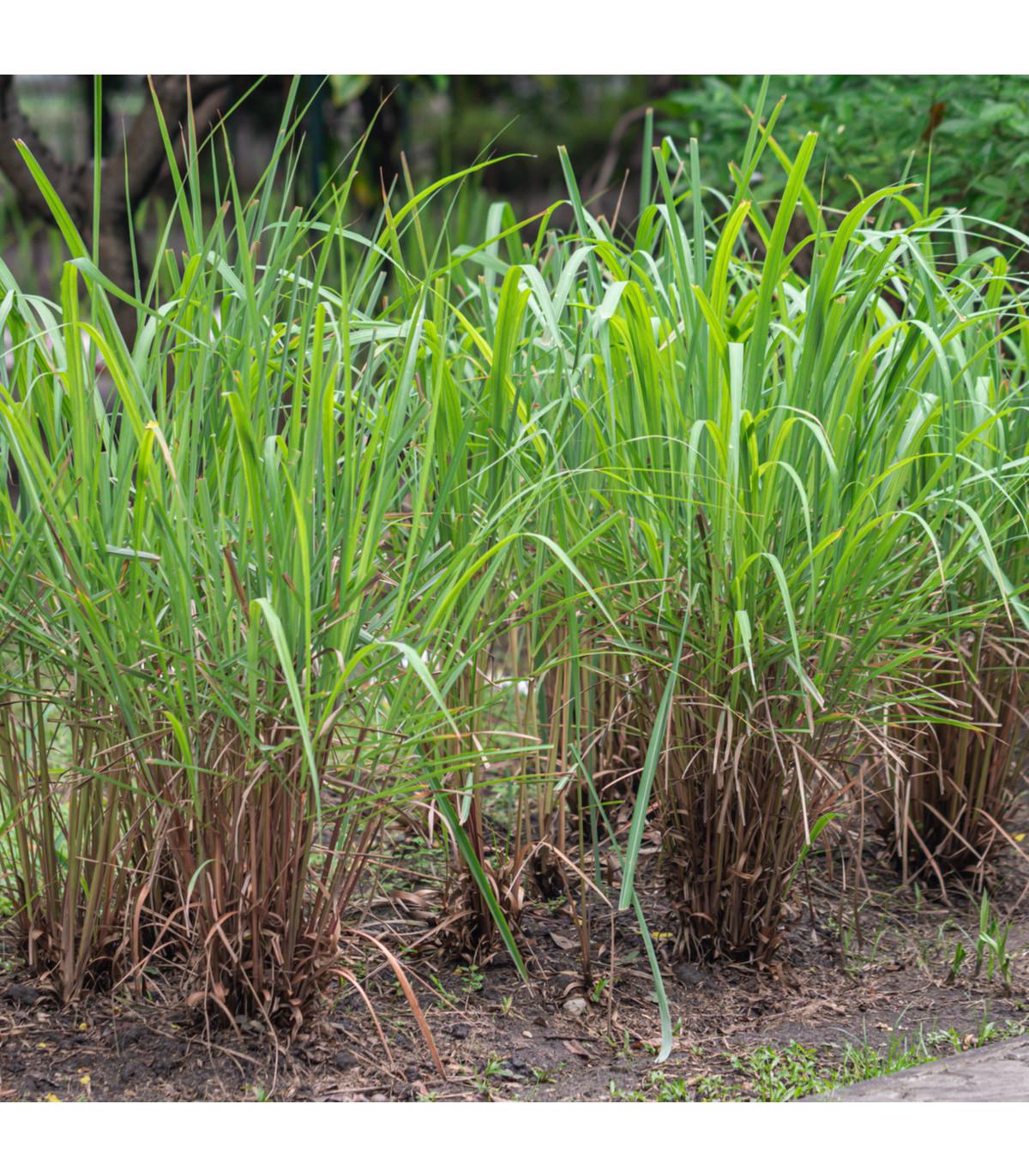 Citronová tráva - semena - 20 ks - Cymbopogon citratus