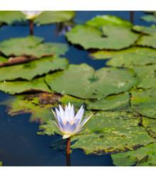 Leknín bílý - semena Leknínu - 6 ks - Nymphaea ampla