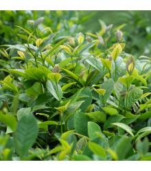 Tea tree - semena - 30 ks - Leptospermum rotundifolium