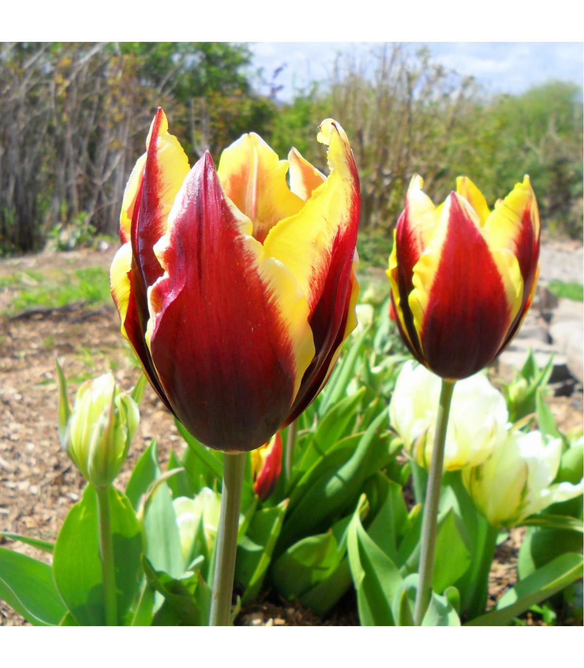 Tulipán Gavota - Tulipa - cibuľoviny - 3 ks