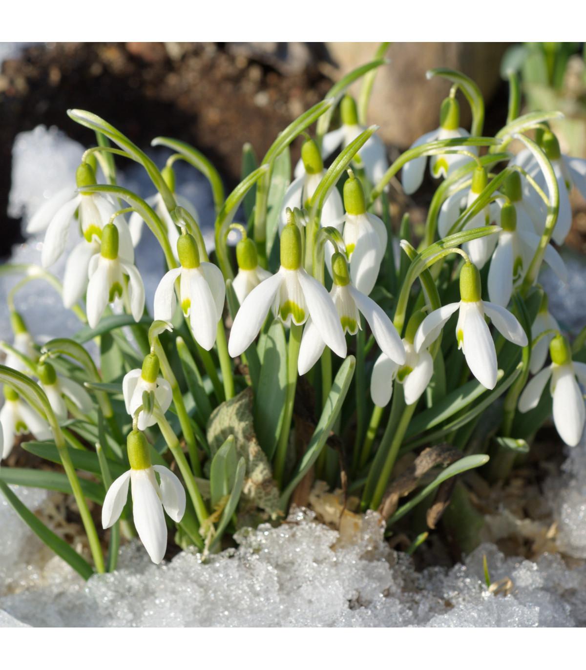 Snežienka Woronova - Galanthus woronovii - cibuľoviny -3 ks