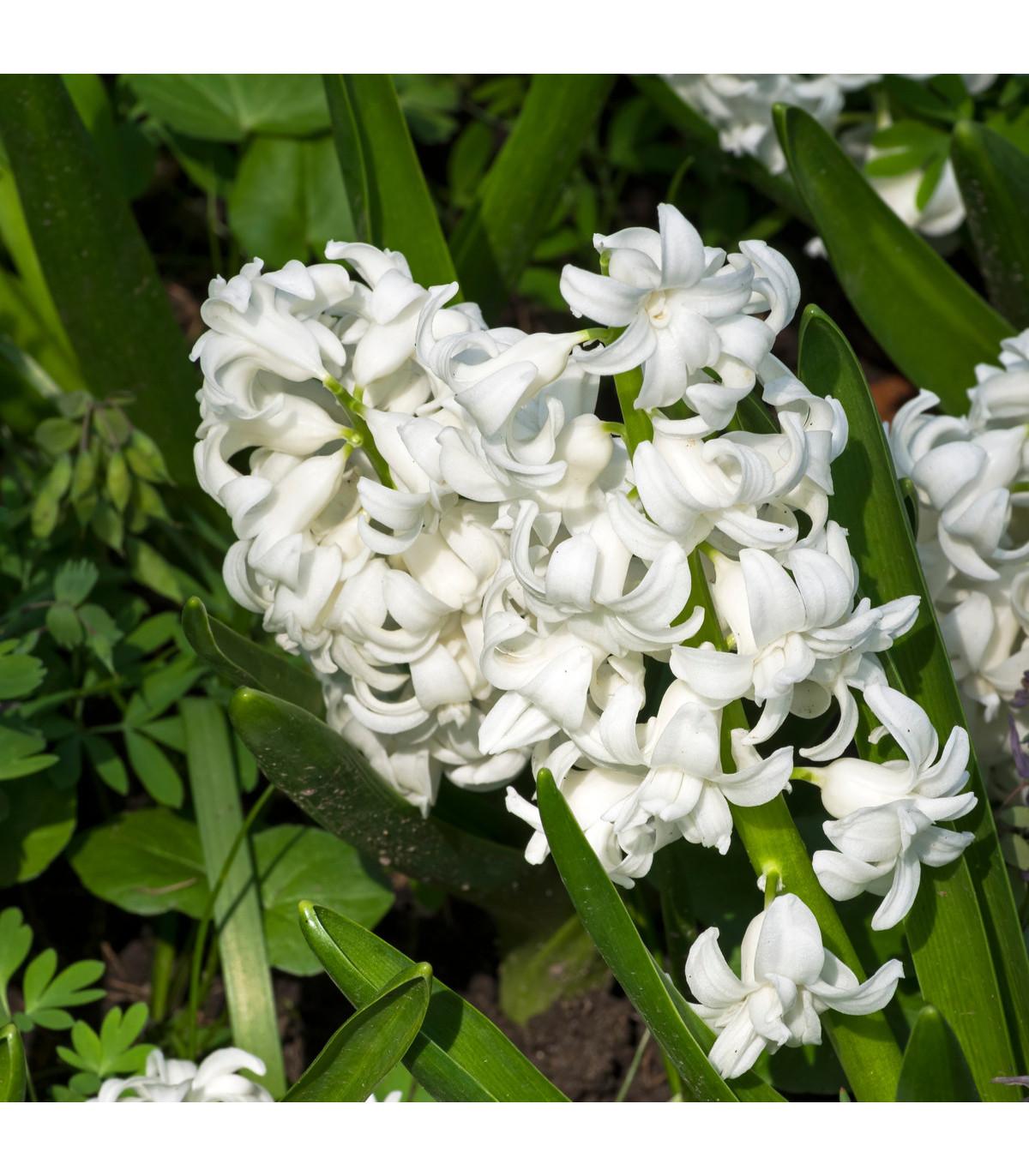 Hyacint White pearl - Hyacinthus orientalis - cibuľoviny - 1 ks