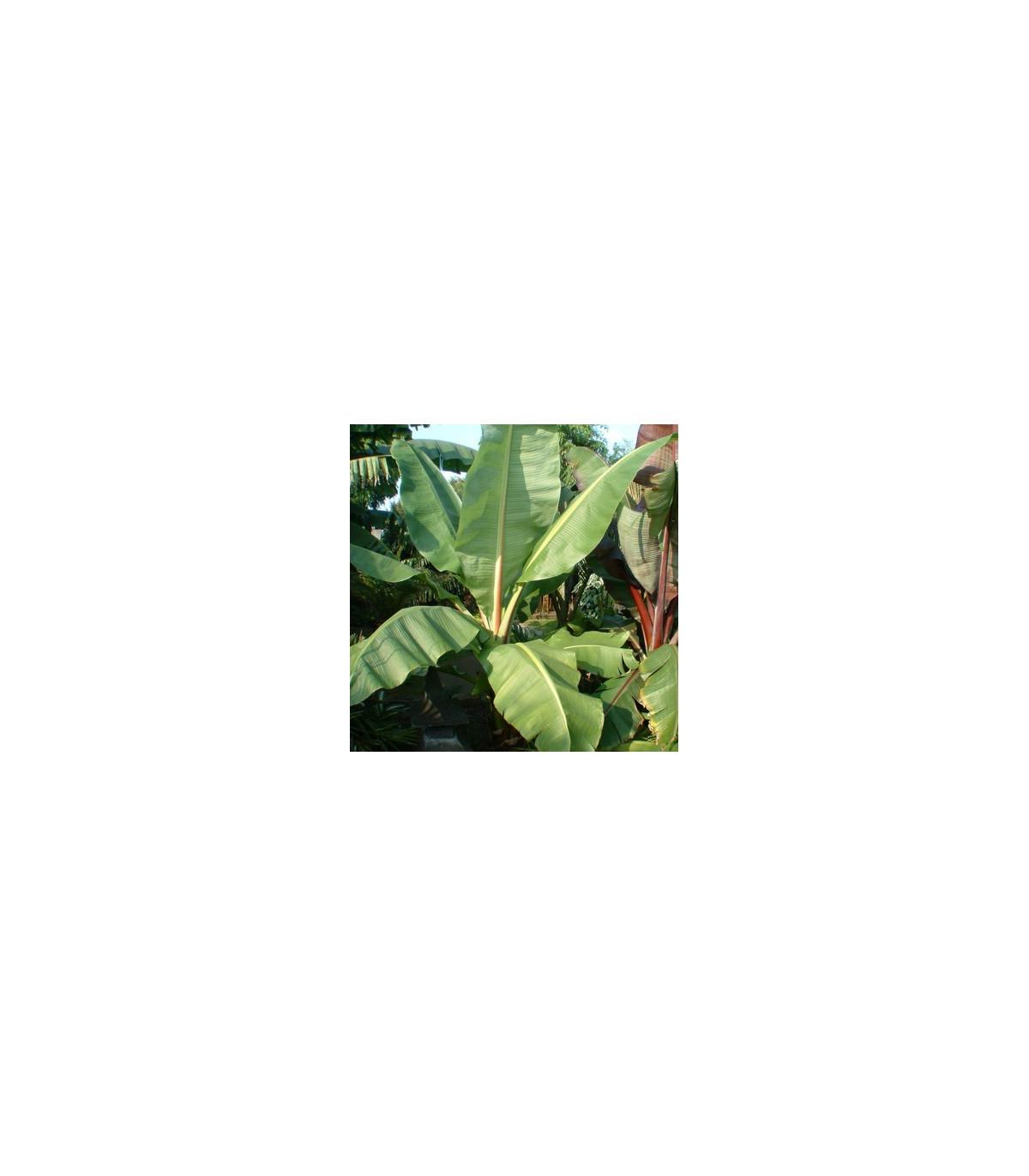 Banánovník Cheesmanii- semená - 3 ks - Musa cheesmanii