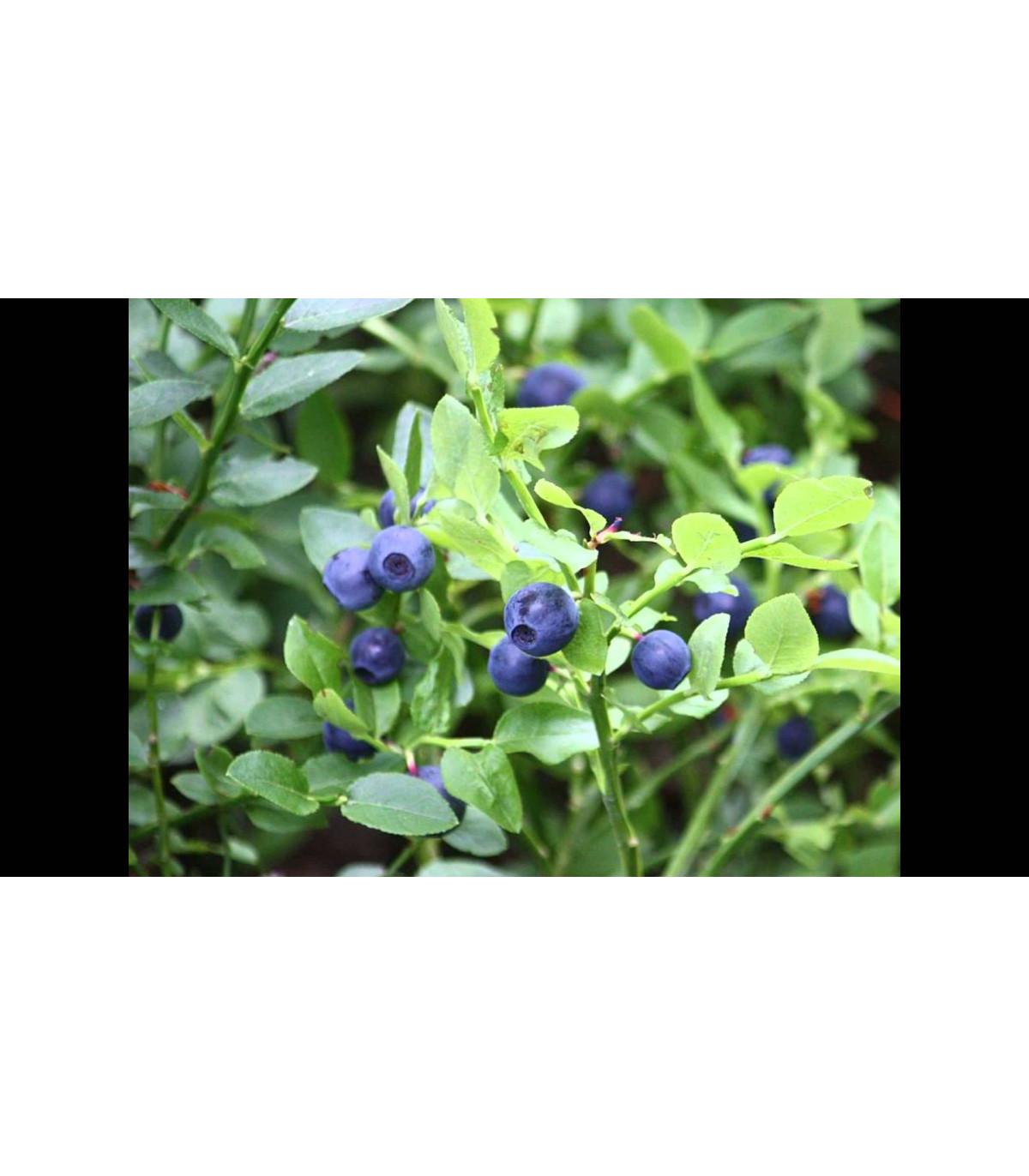 Čučoriedka čierna - semená - 7 ks - Vaccinium myrtillus